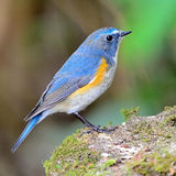 Male Red-flanked Bluetail Royalty Free Stock Photo