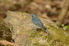Male Red-flanked Bluetail (Tarsiger cyanurus) Stock Photos