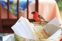 Male Red fody eats bread from the plate Royalty Free Stock Images
