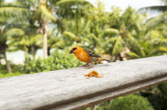 Male red fody Foudiamadagascariensis, Seychelles and Madagascar bird. Stock Image