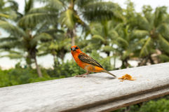 Male red fody Foudiamadagascariensis, Seychelles and Madagascar bird. Royalty Free Stock Photos