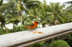 Male red fody Foudiamadagascariensis, Seychelles and Madagascar bird. Royalty Free Stock Photography