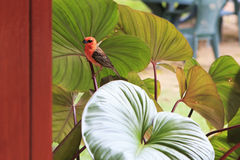 Male Red fody sits on a plant Stock Image