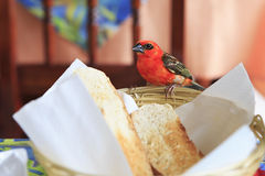 Male Red fody sitting on a plate with bread Stock Photo