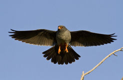 The male Red-footed falcon. The male Red-footed falcon in flight Royalty Free Stock Photography
