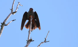 Male red footed hawk Falco vespertinus. Spreading wings Royalty Free Stock Photography