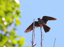 Male red footed hawk Falco vespertinus. Spreading wings Stock Photos