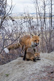 Male red fox feeding mouse kill to young cub Stock Photography