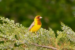 Male of Red-headed Bunting Stock Images