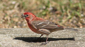 Male Red headed finch Royalty Free Stock Photo