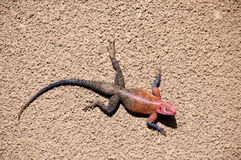 Male Red-headed Rock Agama, Tanzania Royalty Free Stock Images