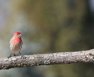 A male red house finch. A male red housefinch bird sits on a oak tree branch with an interesting expression and text space on the right side. A beautiful green Royalty Free Stock Image