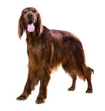 Male red irish Setter Royalty Free Stock Photography