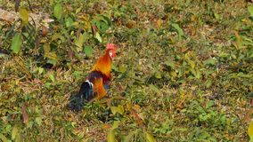 Red Jungle Fowl. Male Red Jungle Fowl at Khao Yai National park Thailand stock video