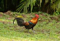 Male Red junglefowl (Gallus gallus) Stock Photos
