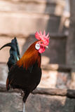 Male Red Junglefowl Royalty Free Stock Photo
