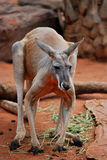 Male red kangaroo Stock Photos