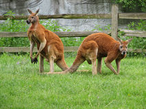 Male Red Kangaroos. Two adult male Red Kangaroos watching over the nearby mob Stock Photos
