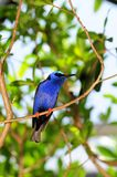 Male red-legged honeycreeper bird Stock Images