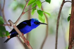 Male red-legged honeycreeper bird Royalty Free Stock Image