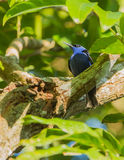 Male Red-legged Honeycreeper. The male Red-legged Honeycreeper (Cyanerpes cyaneus) belongs to the Tanagers and has an amazing cyan blue plumage while the females Stock Photography