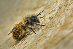 Male Red Mason Bee. A male Osmia bicornis (Osmia rufa) Mason bee Stock Photos