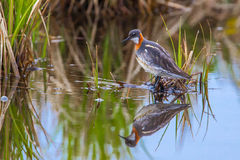 Male Red Necked Phalarope Royalty Free Stock Images