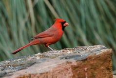 Male red Northern Cardinal bird, Athens, Georgia Royalty Free Stock Photos