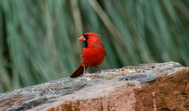 Male red Northern Cardinal bird, Athens, Georgia Royalty Free Stock Images