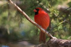 Male Northern Cardinal bird perched in a cedar tree. Male red northern cardinal bird perched on limbs in a cedar tree royalty free stock images