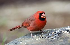Red male Northern Cardinal bird eating seed, Athens GA, USA. Male red Northern Cardinal, Cardinalis cardinalis, songbird eating sunflower seed off a rock in stock photography