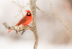 The Male Red Northern Cardinal. The red male Northern Cardinal hangs onto a branch during a winter storm Stock Photos