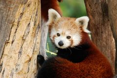 Male red panda Stock Photos