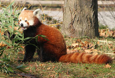 Male Red Panda nibbling on Bamboo. Male Red Panda with Bamboo branch leaves Stock Photo