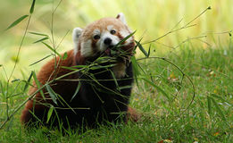 Male Red Panda nibbling on Eucalyptus. Male Red Panda with Eucalyptus branch Royalty Free Stock Photos