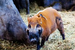 Male Red River Hog or Bush Pig Foraging for Food. A male Red River Hog foraging for food in the forest. Also known as a bush pig, it is a wild member of the pig royalty free stock image