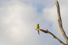 Male Red rumped Parrot bird (Grass Parrot) in green and yellow c. Olor perching on dried branch against cloudy blue sky in the evening, South Australia stock photo