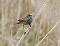 The male red starry Bluethroat singing on a branch cane. Royalty Free Stock Photos