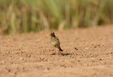 Male Red-throated Pipit (Anthus cervinus) Royalty Free Stock Photo