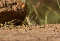 Male Red-throated Pipit (Anthus cervinus) Royalty Free Stock Photography