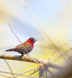 Male Red-throated Twinspot Royalty Free Stock Images