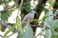 Male Red Turtle-Dove (Streptopelia tranquebarica) Stock Photos