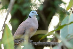 Male Red Turtle-Dove (Streptopelia tranquebarica) Stock Photo
