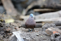 Male Red Turtle-Dove (Streptopelia tranquebarica) Stock Photography