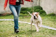 Australian Shepherd Dog Standing Near Woman In Green Grass. Male Red And White American Bulldog Dog Walking Near Woman In Green Grass During Training Stock Images