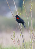 Male Red Wing Blackbird Royalty Free Stock Photography