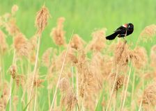 Male Red-wing Blackbird. Perched on marsh grass Stock Photo