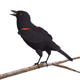 Male Red-winged Blackbird Royalty Free Stock Photography