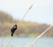 Male red winged blackbird. Stock Images