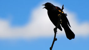 Male Red-winged Blackbird. Standing on a tree branch in a South Florida wetland Royalty Free Stock Photo